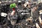propagating rhubarb