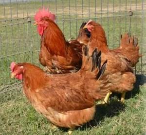 redrangerchickens