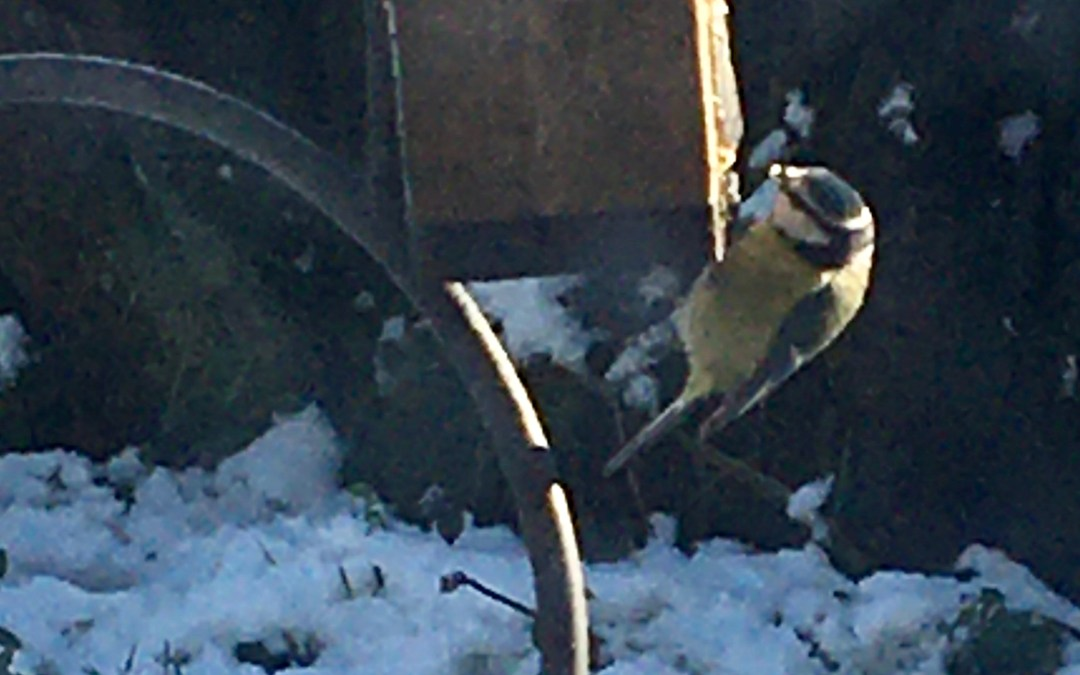 Twitching Tuesday – the Blue tits