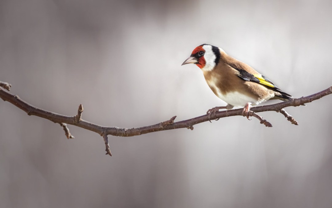 Twitching Tuesday the Goldfinches