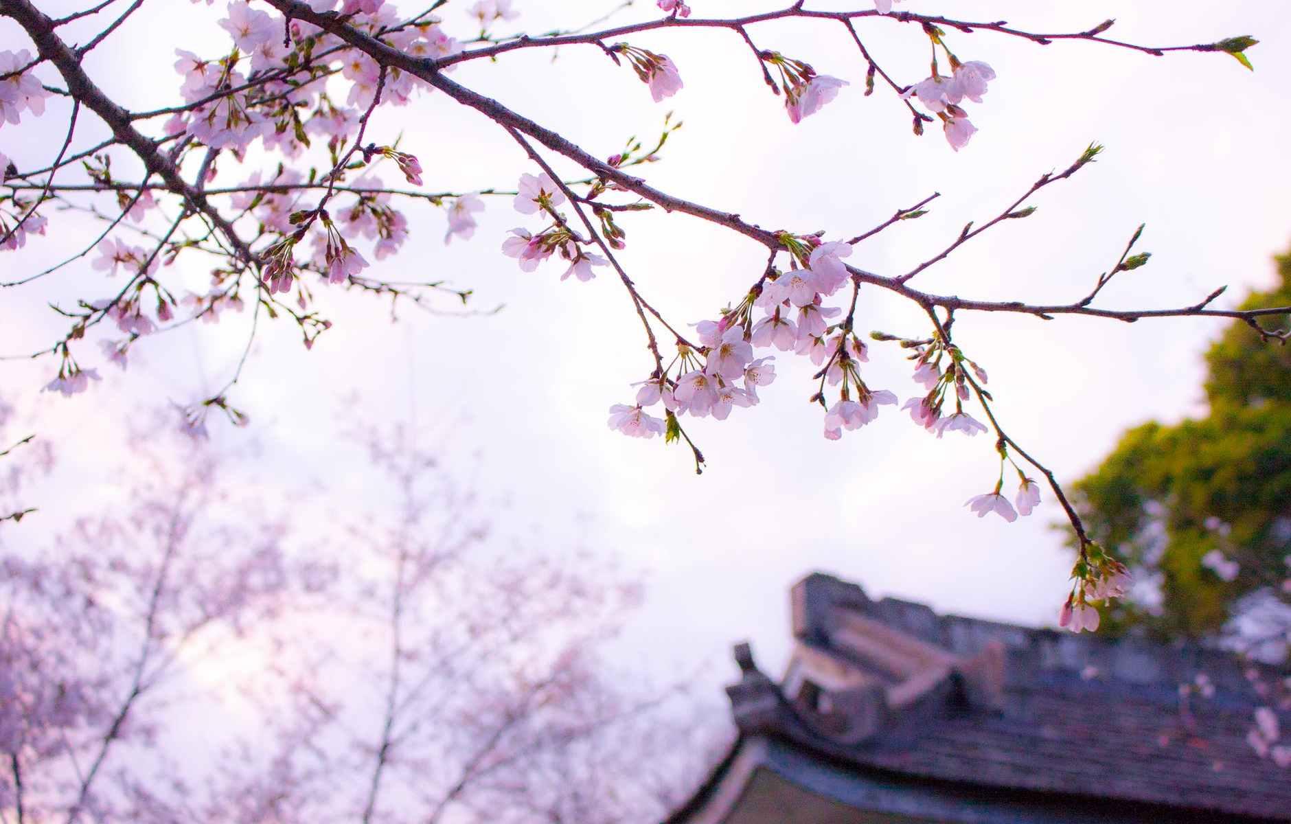 branch cherry blossom environment flowers