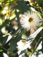Macadamia blossom