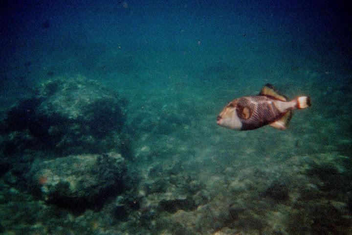 Triggerfish!