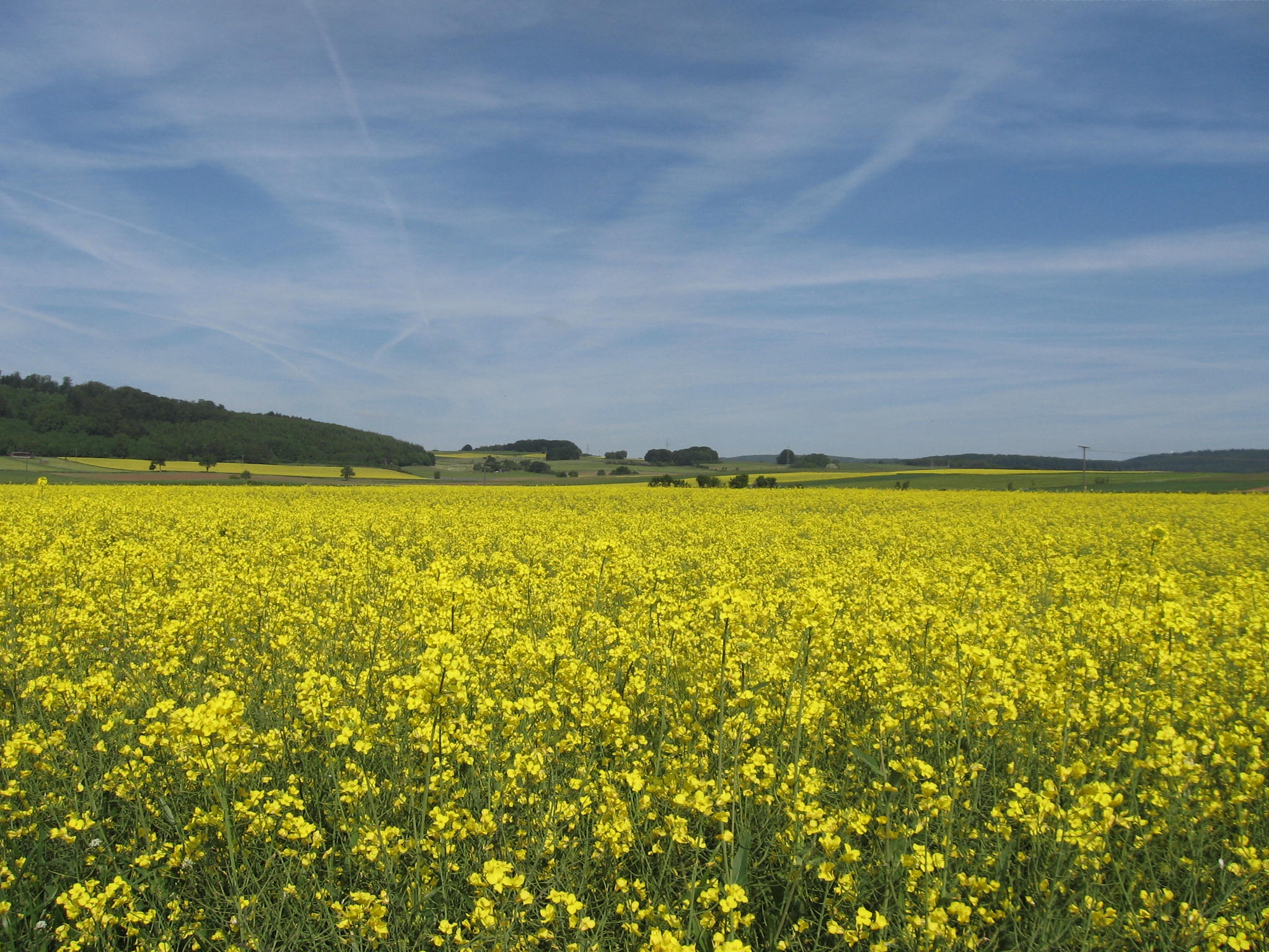 RapeseedField
