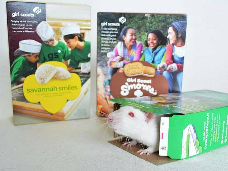 A white rat is chilling in an empty Thin Mints box. Two other Girl Scout Cookie boxes stand in the background.