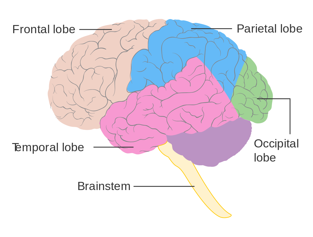 Lobes Of The Brain Blank Diagram Car Wiring Diagrams Explained