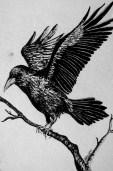 37 AndreaWillingham Raven