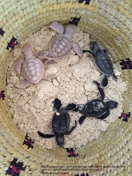 #‎albino‬ greenseaturtle babies near Mozambique- hope these rare hatchlings survive to adulthood http://t.co/lDMKI8nYpb http://t.co/0AcvYgHWKj