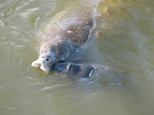 #‎Manatees‬ only breathe through their nostrils! Their lungs are 2/3rds the length of its body which helps them float! http://t.co/X2LC0D5iBF