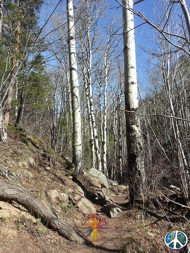 Aspen Tree, Cow Creek Trail, Rocky Mountain National Park, McGraw Ranch, Estes Park, Colorado,