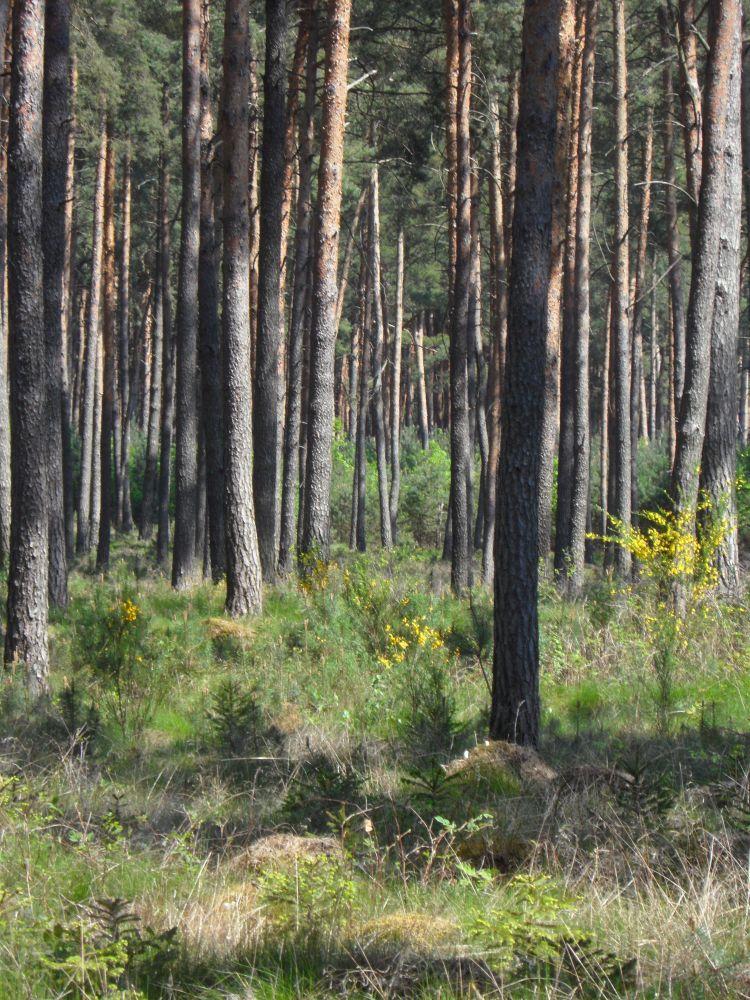 Überall blitzt der gelb blühende Ginster aus dem Wald
