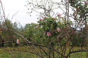 Überall sieht man jetzt auch Hunds-Rosen-Sträucher blühen.