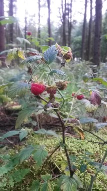 Lovely sweet wild raspberries complimented my packed lunch.