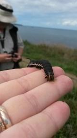 Convolvulus Hawkmoth Larva, Agrius convolvuli, nr Loredo, Cantabria. 5th September 2015 12.59pm