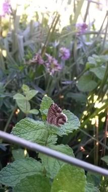 Geranium Bronze (Cacyreus marshalli) in my dad's garden, Galizano. 5th September 2015, 6.39pm.
