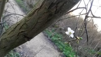 Blackthorn (Prunus spinosa) blossoming at Skylarks Nature Reserve.