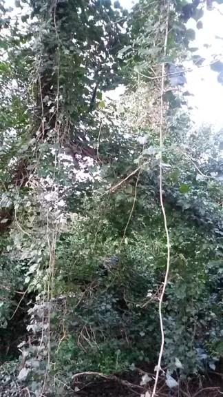 Hanging ivy vines at Skylarks Nature Reserve.