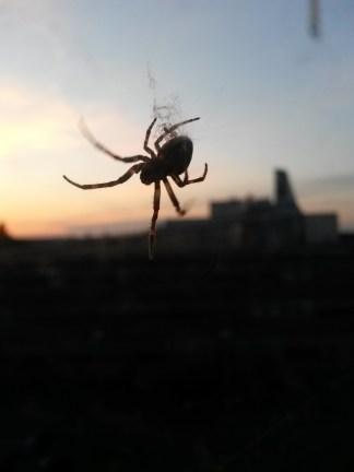 European garden spider (Araneus diadematus) hanging out.