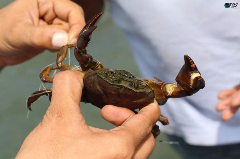 Saving Crabs At Shivanasamudra