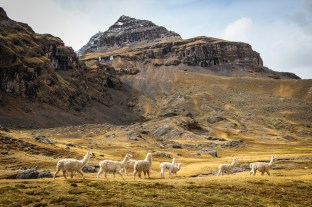 Alpacas Of The Andes
