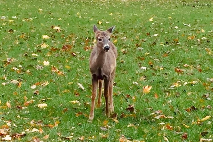 Miami Woods Deer 2