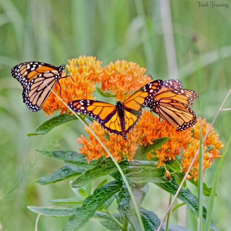 ILB Butterflies1