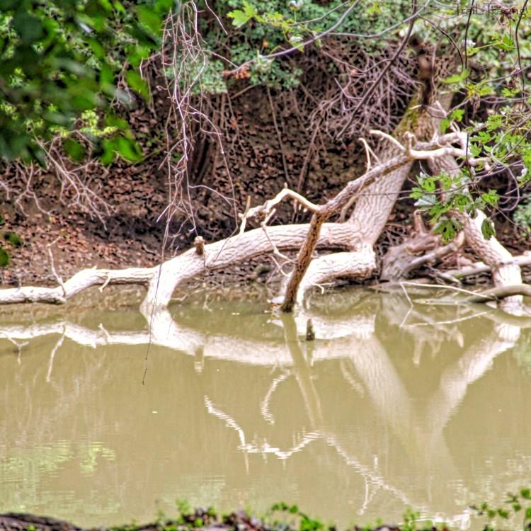 Cahokia-Tree-Reflection
