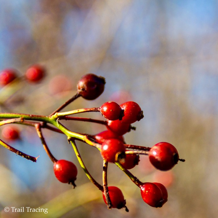 McGinty Slough Red Berries
