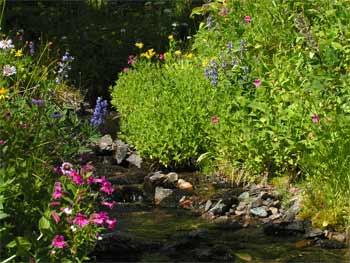 Alpine flowers along creekside