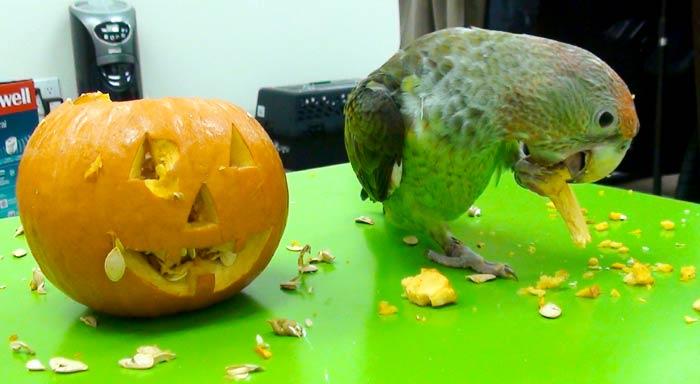 Trained Parrot Blog - Happy Halloween Parrots Carving Jackolantern
