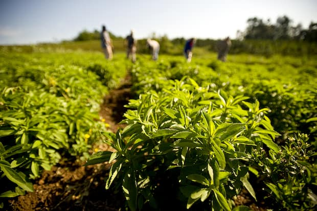 why stevia is safe