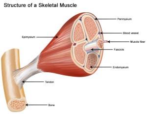 Structure of Skeletal Muscle | SEER Training