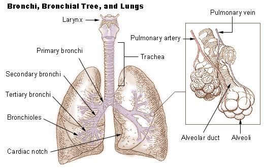 4 h pig diagram sequence and collaboration bronchi, bronchial tree, & lungs | seer training