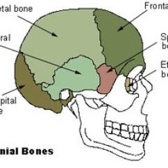Axial Skeleton Skull Diagram 2005 Ford F 250 Fuse Box Seer Training 80 Bones