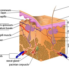 Dermis Layer Diagram 94 Honda Accord Fuse Box Seer Training Anatomy Of The Skin