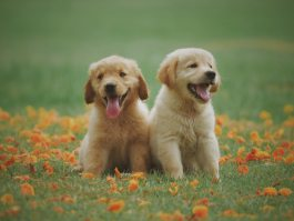 Golden Retriever puppies surrounded by flowers