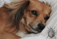 Can Dogs Get Bed Bugs: Gross Right?