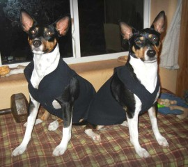 Odin and Nessa, Decker Rat Terriers, ready to go outside.
