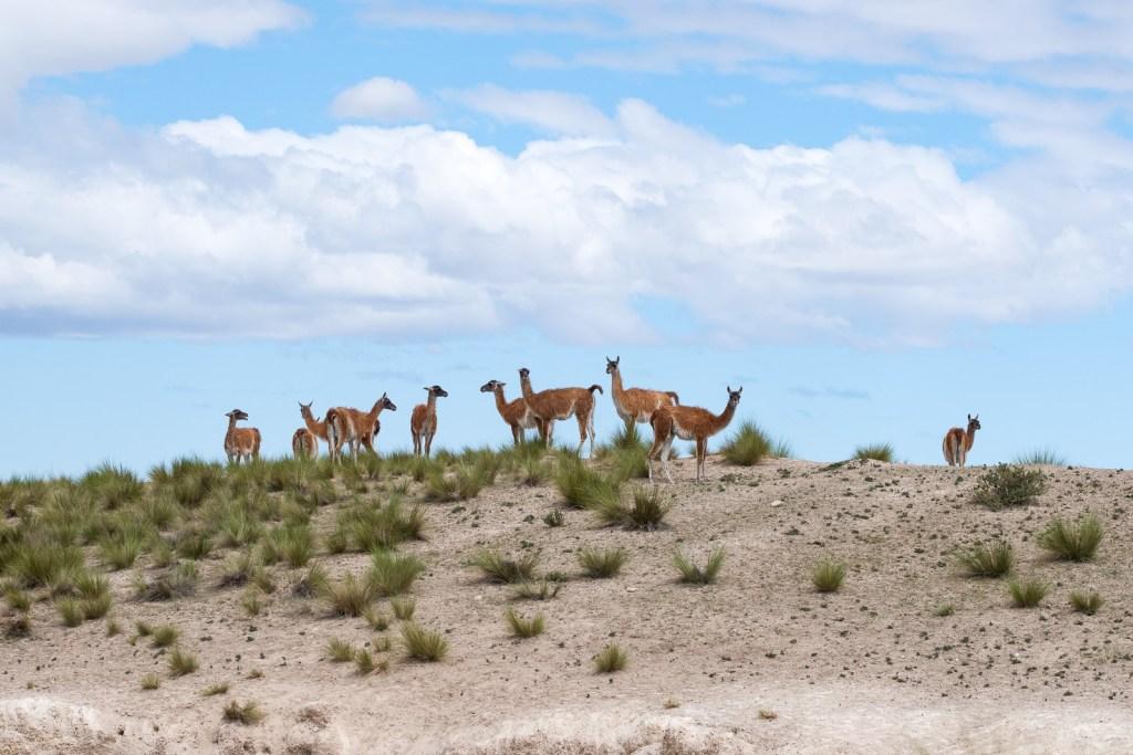 guanaco péninsule valdes patagonie