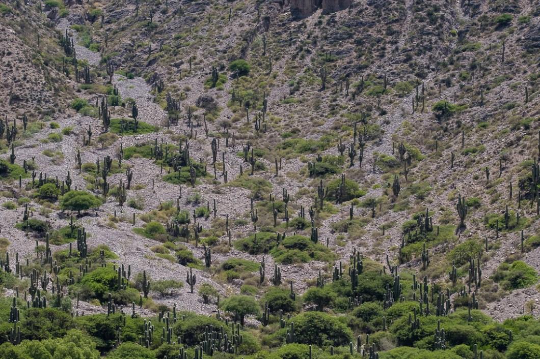 argentine salta cactus