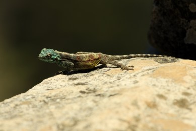 Agama Lizard seen on top of Lion's Head, Cape Town, South Africa