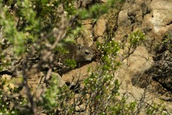 Dassie seen on Lion's Head, Cape Town, South Africa