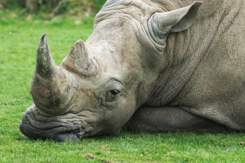 Rhino resting 2