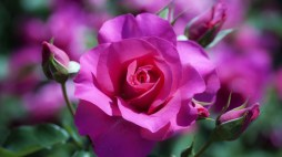 Rose-Flower-Wallpaper-HD-images