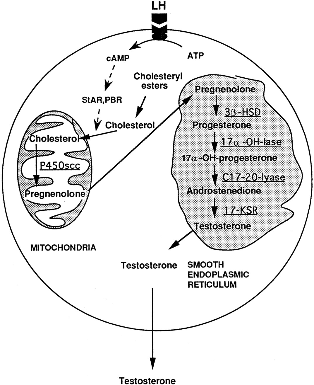 Beta 1 Adrenerga Receptorer