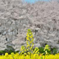 「幸手権現堂桜堤」~「行幸湖」~「中川」沿いを桜、菜の花を見ながらの桜ウォーク!!