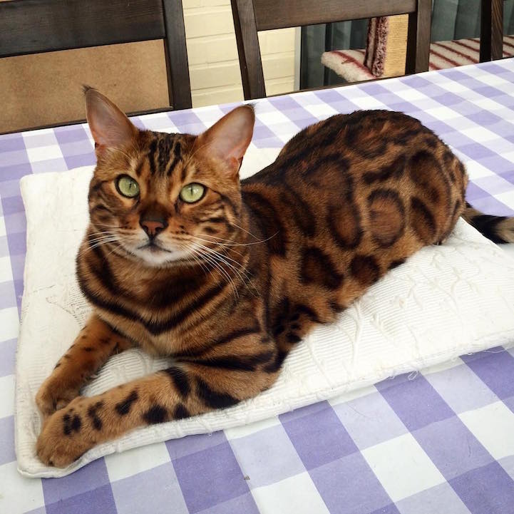 Majestic Bengal Cat Looks Like A Mix Of A Leopard And A Tiger