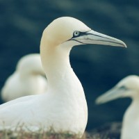 PHOTO- & VIDEO-REPORT: Facing Northern gannets on German Island Helgoland
