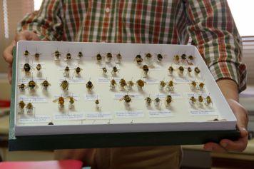Distintos ejemplares del género Bombus