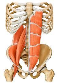 droit de l'abdomen